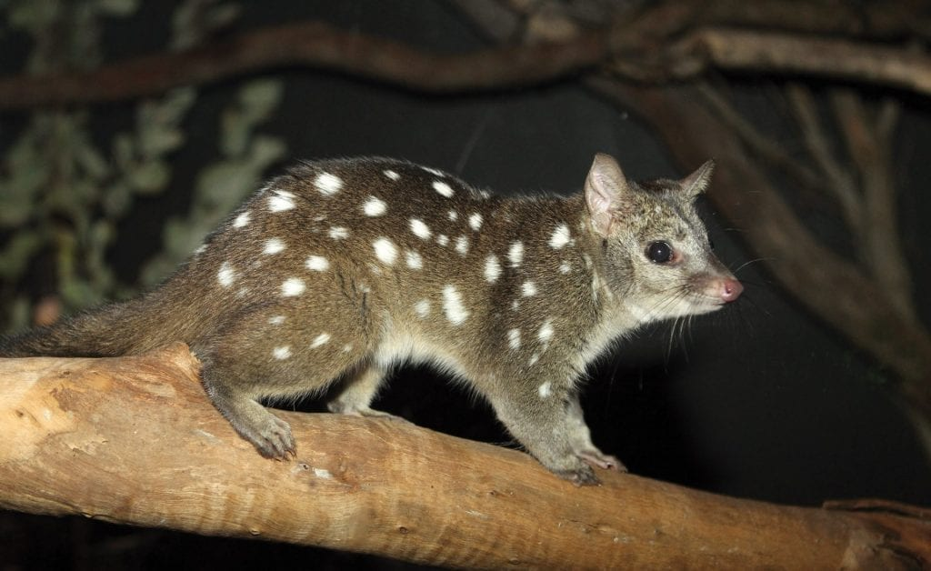 Dickinson Estate Native Wildlife - The Western Quoll, or Chuditch