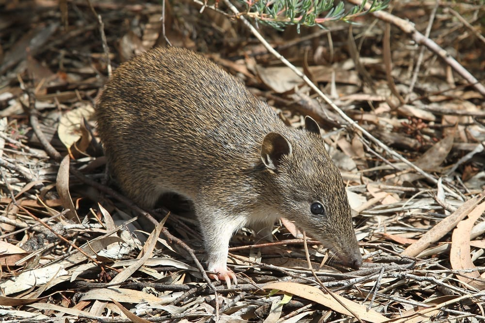 Dickinson Estate Wines - Southern Brown Bandicoot (Isoodon_obesulus)